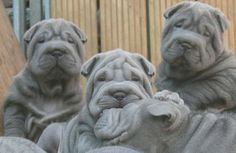 Blue Shar Pei puppies - They look just like Brutus when he was a puppy!