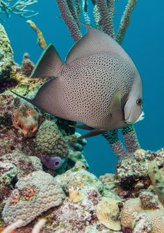 Items similar to Gray Angelfish (Pomacanthus arcuatus), Hammerhead Gulch - Underwater Photography Art Print on Etsy Saltwater Tank, Saltwater Aquarium, Aquarium Fish, Freshwater Aquarium, Under The Ocean, Sea And Ocean, Colorful Fish, Tropical Fish, Beautiful Sea Creatures