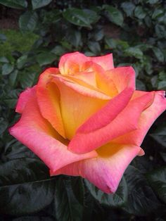 140 best yellow and pink flowers images on pinterest beautiful yellowpink rose mightylinksfo