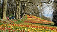 Des tulipes pour un festival de couleurs.