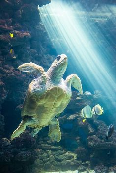 Sea sunbeams and turtle