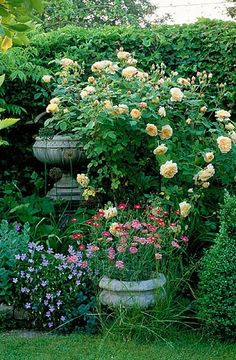 "Beautiful blooming plants - English rose ""Teasing Georgia"" and urns."