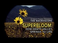 Superbloom: How Death Valley Springs to Life - YouTube