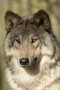 wolf by Pia von Steegen - Photo 138797277 - Wolf Photos, Wolf Pictures, Animal Pictures, Wolf Husky, Wolf Pup, Beautiful Creatures, Animals Beautiful, Cute Animals, Wolf Spirit