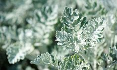 Plantas vivaces de color gris