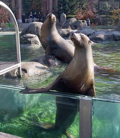 NYC-Seals in Central Park Zoo © by kwarmyw0333, via Flickr