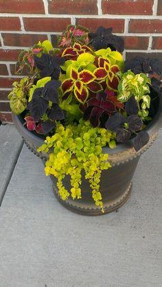 Summer 2013 ...Flower pots...Coleus & Creeping Jenny