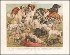 Farb Lithografie Hunde Rassen Bernhardiner Bulldogge Schäferhund 1895 Original