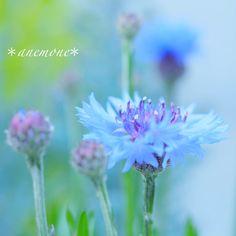 #矢車菊#ヤグルマギク#矢車草#ヤグルマソウ#cornflower#flower