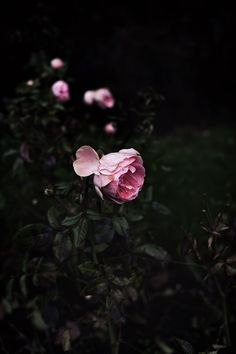 Slowly withering roses.