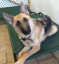 Lola is an adoptable German Shepherd Dog Dog in Phoenix, AZ.  Lola is an amazing purebred German Shepard female, she is about 8 months old. She is good with other dogs medium and large and LOVES to pl...