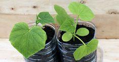 Na výsev uhoriek je potrebné zvoliť plastové fľaše s obsahom najmenej 6 l. Čím je nádoba väčšia, tým lepšie sa bude vyvíjať koreňový systém a rastlina dostane viac živín. Korn, Plant Leaves, Fruit, Plants, Garden, Hair, Whoville Hair, Garten, Planters