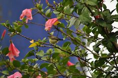 Female purple sunbird