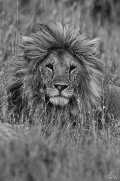 Handsome Lion by Charlie Hamilton James Photographic Print