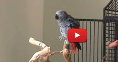 Ollie the parrot is captivating audiences all over the Internet. Bird Pictures, Funny Animal Pictures, Funny Animals, Cute Animals, Unusual Animals, Pretty Birds, Beautiful Birds, Amazon Parrot, Funny Parrots