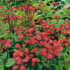 Zwerg-Sterndolde Ruby Wedding - Schattenpflanzen