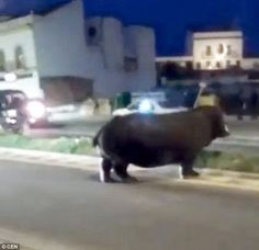 Hipopótamo vaga pelas ruas em desespero após fugir de circo na Espanha