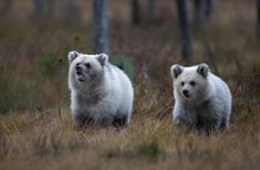 Even two almost totally white brown bear cubs have been seen in Kuhmo, Finland/ photo Kimmo Ohtonen/ 2018 Bear Cubs, Bears, Love Bear, All Dogs, Brown Bear, Nature Photos, Polar Bear, Pet Birds, Cute Animals
