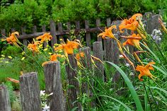 Tiger lilies in front of historic Whipple House in Ipswich, Massachusetts.