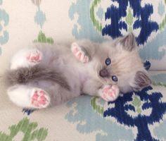 Ragdoll kittens for sale, available at www.jamilasragdolls.com
