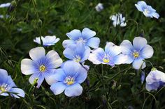 The flax plant contains low levels of cyanide producing compounds that make it toxic in large doses. Toxin levels can vary based on variety, season and climate. Flax Plant, Different Types Of Flowers, Planting Flowers, Recovery, Nature, Plants, Management, Pictures, Dog Stuff