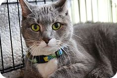 Brooklyn, NY - American Shorthair. Meet Nataly, a SENIOR  cat for adoption. http://www.adoptapet.com/pet/9538273-brooklyn-new-york-cat