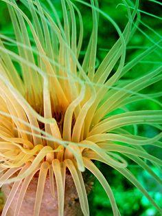 tube anemone, Channel Islands, U.K.  Photo: sunumet