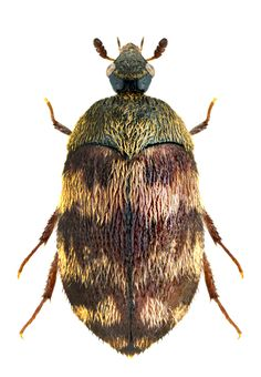 Family Dermestidae Carpet Beetles Furniture Carpet