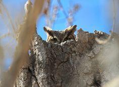 Nesting Great Horned Owl in my yard. (Bubo virginianus)[3538X2594] - http://ift.tt/1WBczxj