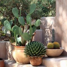 Learn how to grow prickly pear cactus in this article. Growing prickly pear cactus and its care is not difficult, if you grow it in right growing conditions. Garden Web, Garden Design, Indoor Cactus Plants, Prickly Pear Cactus, Cactus Flower, Cactus Cactus, Small Cactus, Garden Care, Container Gardening