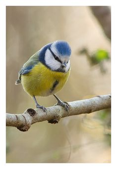 European Blue tit - Chickadee family.  Repinned by www.mygrowingtraditions.com