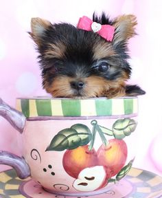 why, hello there, little yorkie!  #teacups #yorkies #puppies