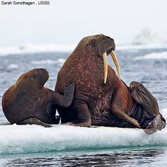 The walrus (Odobenus rosmarus) is a large flippered marine mammal with prominent tusks, whiskers, and bulkiness. Adult males in the Pacific can weigh more than 3,700 lb and, among pinnipeds, are exceeded in size only by the two species of elephant seals. Walruses live mostly in shallow waters above the continental shelves, spending significant amounts of their lives on the sea ice looking for benthic bivalve mollusks to eat. pup