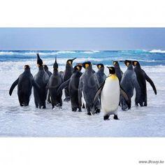 PR Interiors Foto op glas Art Kader 120 Wandpaneel Pinguïn-Pinguin-Pinguins lopend in het water