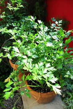 Growing Herbs: Parsley - my parsley did much better than the articles would lead you to believe. Its just not that hard, do give it a try!!