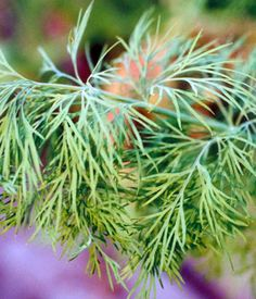 Dill~Herb~ Butterflys Love to cocoon on the stalks