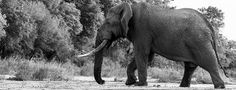 From the blog http://blog.malamala.com/index.php/2013/11/the-giants-of-malamala-by-ranger-pieter-van-wyk/