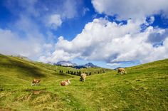 #agriculture #alps #animal #background #beautiful #cattle #clouds #countryside #cow #environment #field #grass #grass field #grassland #idyllic #landscape #lawn #livestock #mammal #mountains #natural #nature #outdoors # 4k