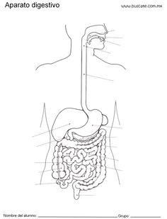 Esquema del aparato digestivo sin nombres de las partes, para completar.