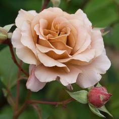 'Julia's Rose' (1976) syn.'Chocolate Rose',  'Pashley Manor Rose'. TH. Gevulde,  regenbestendige bloemen (10-11cm) met een aparte koperachtige  kleur, een mengeling van roomwit, caramel en perzik, en die varieert volgens de lichtinval. Redelijk  gezond. 90cm x 60cm.