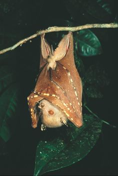 Eastern Tube-nosed Bat, Nyctimene robinsoni