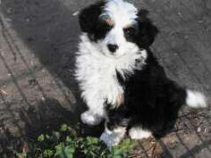 Bordoodle (Border Collie + Poodle) So Cute!!! Collie