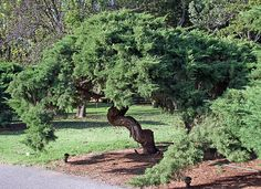 How to prune spreading juniper shrubs so they remain attractive.