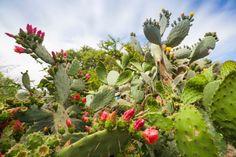 Nome Científico: Nopalea cochenillifera. A urumbeta ou cacto de cochonilha é uma planta rústica: seu caule é cilíndrico e os ramos são achatados, carnosos e ovalados. Suporta a falta de água por um bom tempo e suas flores surgem o ano todo
