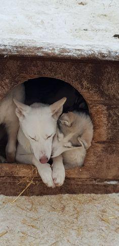 20190104_131553 Husky, October, Dogs, Animals, Xmas Lights, Reindeer, Sled, Honeymoons, Finland