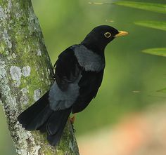Yellow-legged thrush (Turdus flavipes)