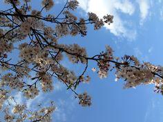 Sakura in Hibiya Park Tokyo