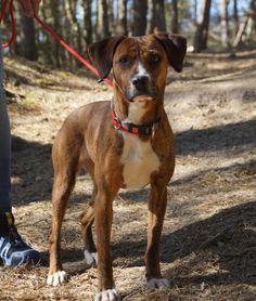 Julie, #Boxer Mix, 1 Jahr, hunde- und katzenverträglich, hundesportgeeignet