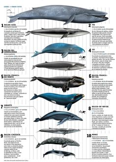 Whales, - infographic. [Source, whale and dolphin conservation society].