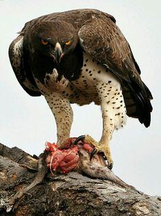 Fantástica águila